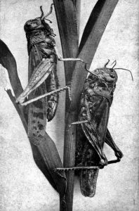 Rocky Mountain Locusts 1870s