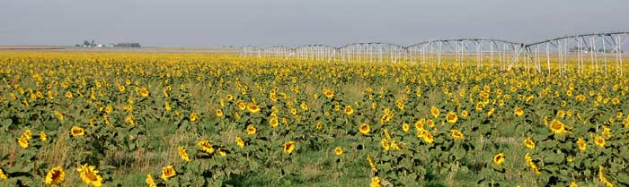 Grant County, Kansas Sunflowers by Kathy Weiser-Alexander.
