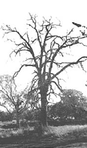 Six-Mile Tavern Hanging Tree