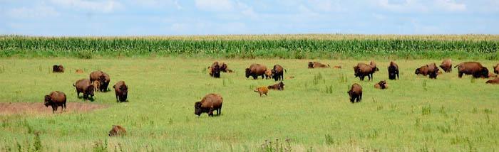 Buffalo in Lyon County near Hartford, Kansas by Kathy Weiser-Alexander.